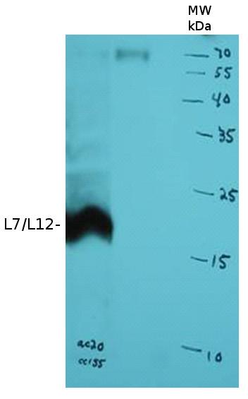 western blot using anti-L7/L12 antibodies
