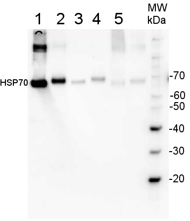 western blot using plant anti-HSP70 antibodies