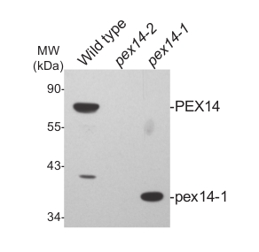 western blot with plant peroxisomal marker antibody