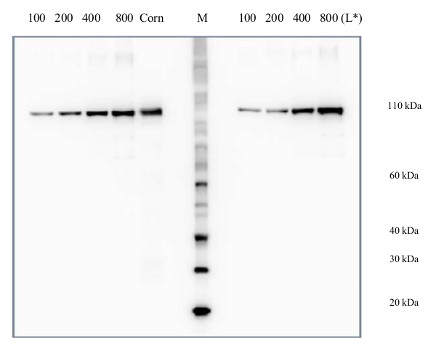 quantitative western blot using anti-PEPC antibody and PEPC protein standard