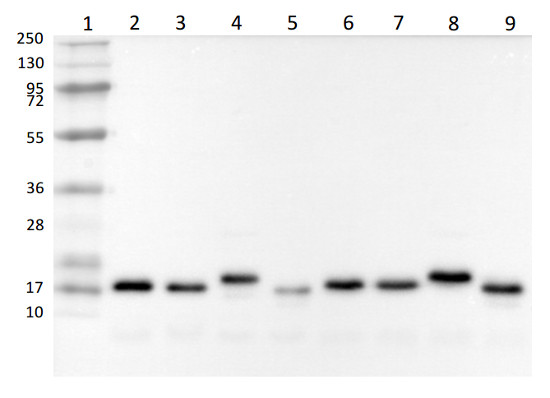Western blot with anti-PsaD antibodies on Chlamydomonas reinhardtii cell extracts