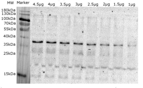 Western blot using anti-Lhcb5 | CP26 (Lhcb5) homolog (Ostreococcus tauri) antibodies