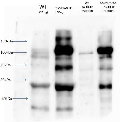 western blot using anti-serrate antibodies