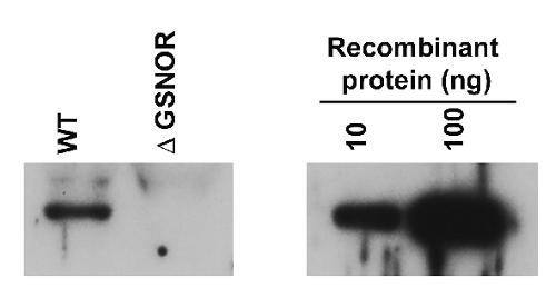 Western blot using anti-GNSOR antibody