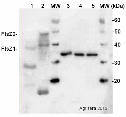 western blot using plant anti-FtsZ1 and FtsZ2 antibody