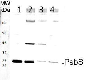 western blot using anti-PsbS rabbit antibodies