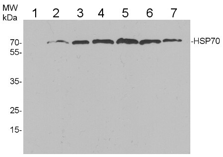 multi species western blot using anti-HSP70 antibodies