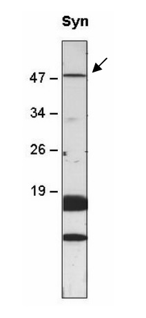 western blot using anti-sll0528 antibodies