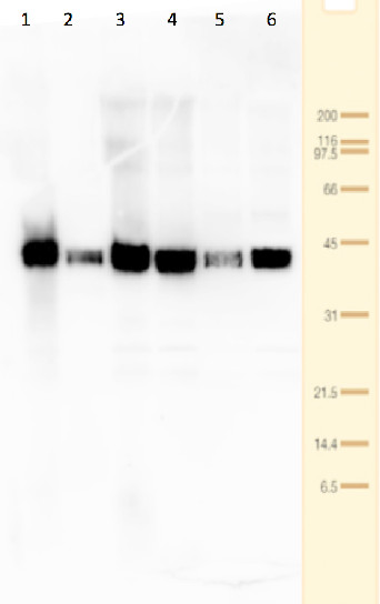 western blot using anti-Tic40 antibodies on Physcomitrella