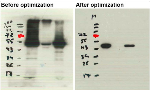 Western blot using anti- plant eEF1a antibodies