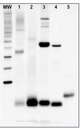 western blot using anti-PsaC antibodies