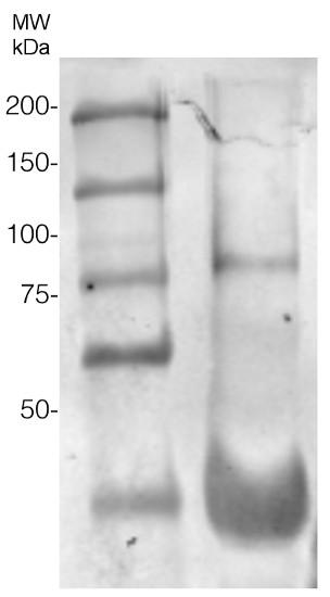 western blot using anti-AGO6 antibodies'