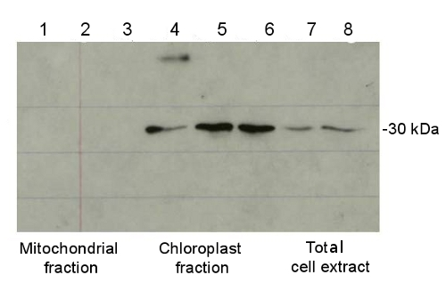 western blot using anti plant ferritin antibody