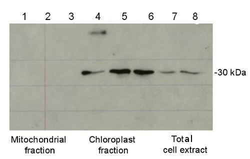 western blot using anti plant ferritin antibody