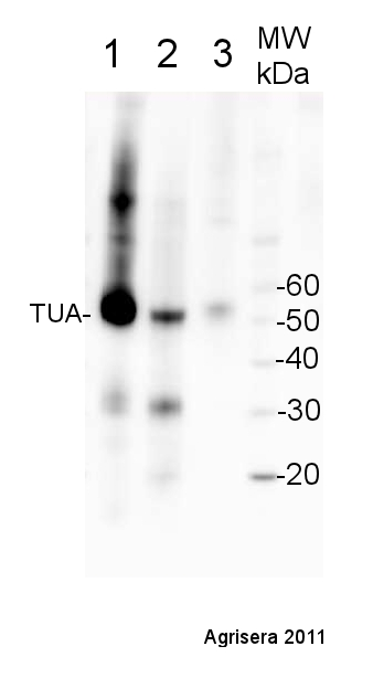 western blot using anti-plant tubulin alpha antibody
