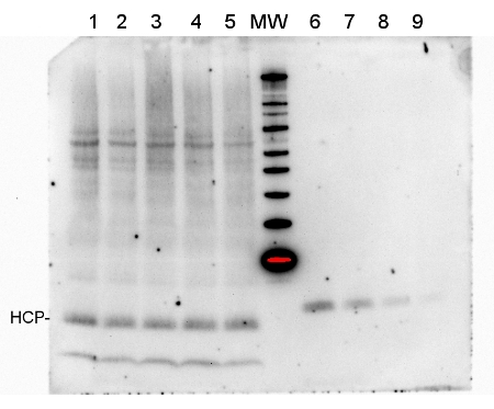 western blot using anti-HCP antibody