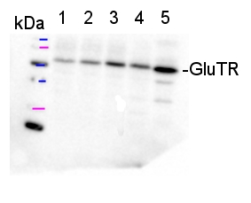 western blot detection using GluTR antibodies