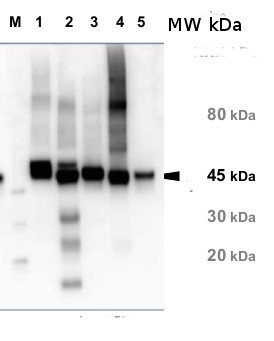 western blot detection of Rubisco activase in various species