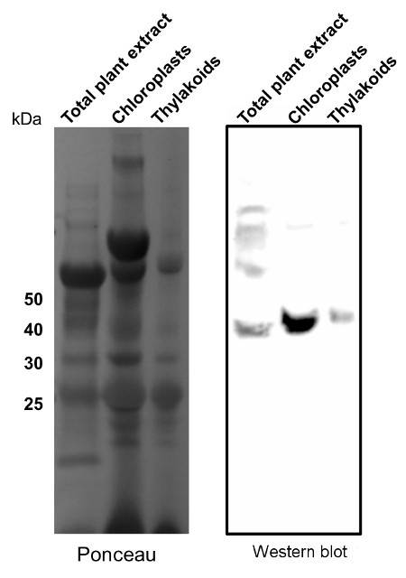western blot using anti-TIC40 antibodies