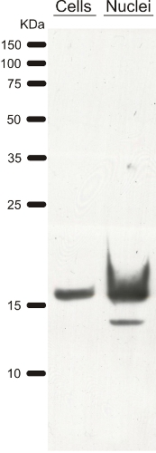 western blot on Chlamydomonas using anti-H3 antibody
