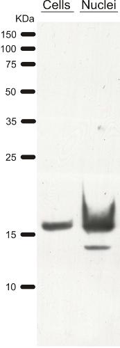 western blot on Chlamydomonas using anti-H3 antibody