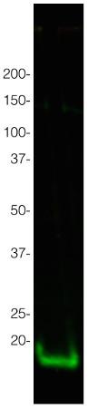 western blot using anti-H3 antibodies on tomato samples