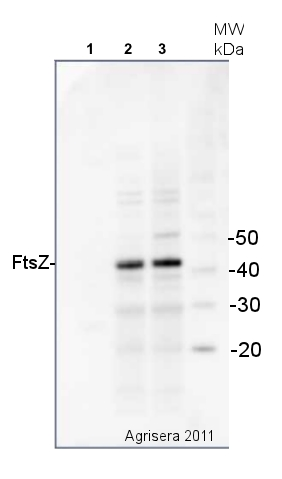 western blot detection of bacterial FtsZ protein using anti-FtsZ antibody