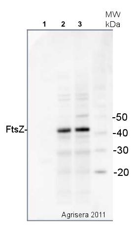 western blot detection of bacterial FtsZ protein using anti-FtsZ antibody