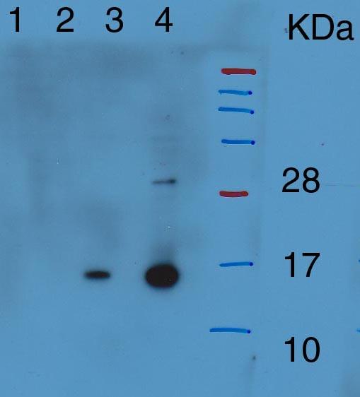 western blot using anti-HTA9 antibodies