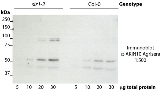 western blot using anti-AKIN10 antibodies