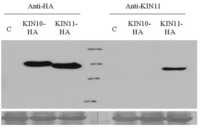 western blot with anti-AKIN11 antibodies