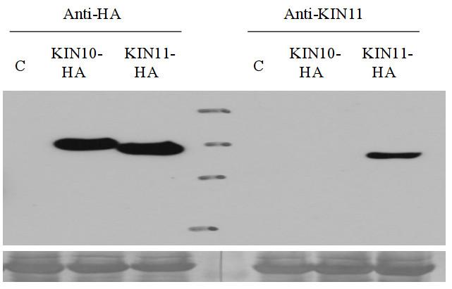 western blot with anti-AKIN11 antibodies