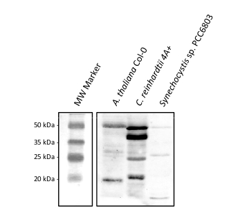 western blot detection of CGL78 protein