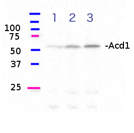 western blot using anti-Acd1 antibodies