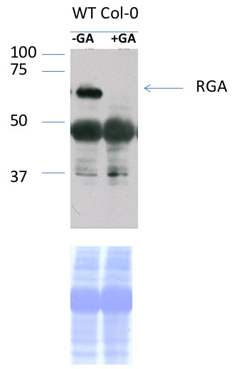 westrn blot using anti-RGA antibodies