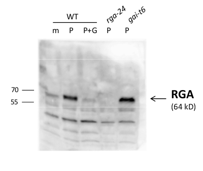 western blot using anti-RGA antibodies