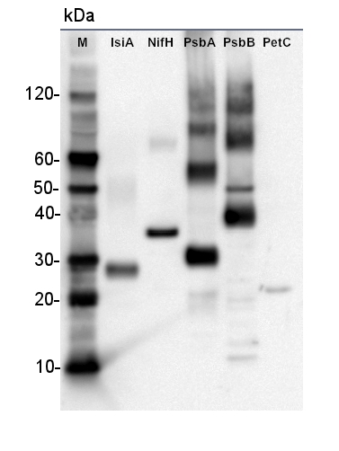 western blot on plant recombinant proteins using anti-His antibody