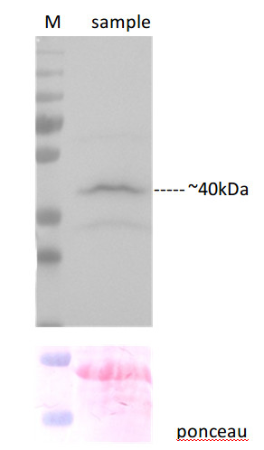 western blot using anti-C-YFP polyclonal antibodies