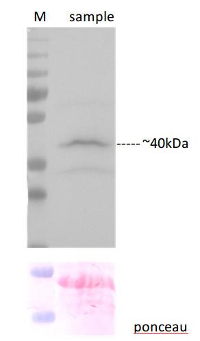western blot using anti-C-YFP polyclonal antibodies