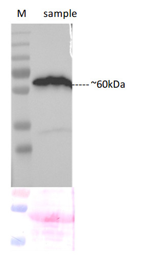 western blot using anti-N-YFP polyclonal antibodies