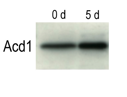 western blot using Acd1 antibody