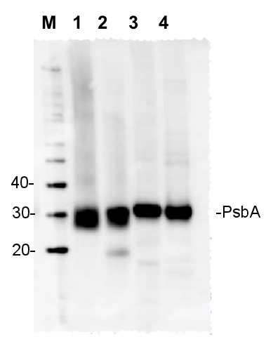 western blot detection using anti-PsbA N-terminal antibody