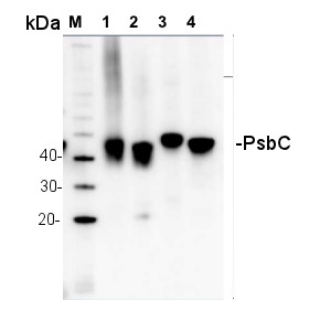 western blot detection of PsbC in several species