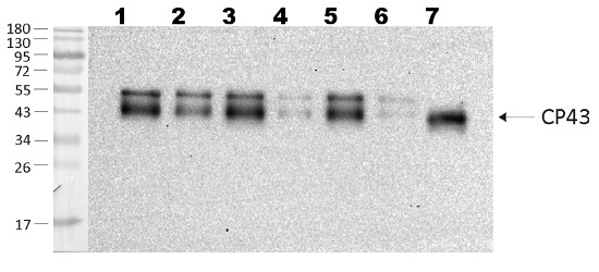 western blot using anti-CP43 antibodies