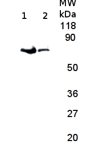 western blot using anti-plant FtsH antibody