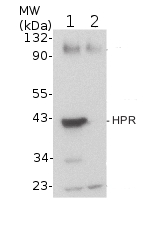 western blot dection of plant HPR protein (plant peroxisomal marker)