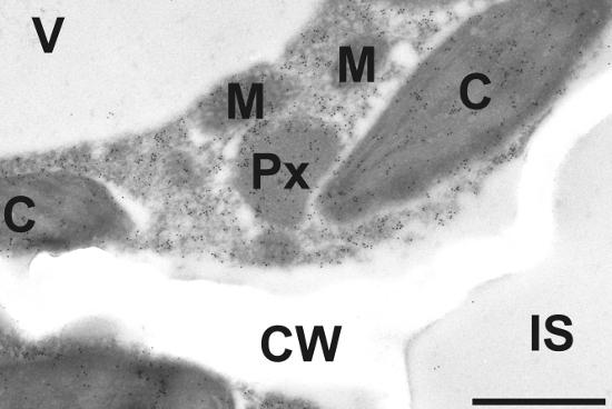 immunogold localization of ACC in plant tissue
