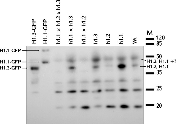 western blot using plant anti-H1 antibodies