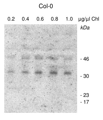 western blot using anti-CGL160 antibodies