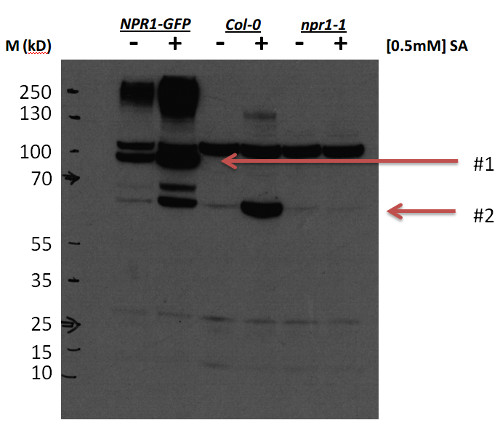 western blot using anti-NPR1 antibodies
